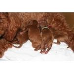 犬の出産(お産)