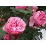 薔薇とハーブの庭通信