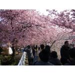 河津桜(伊豆)