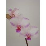 胡蝶蘭と暮らす