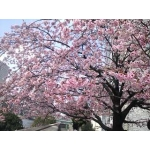 お花見&桜